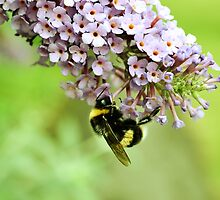 White Tailed Bumblebee - London by Jessica Reilly