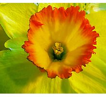 Daffodil Sunset Photographic Print