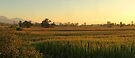 Corn Fields Aglow 2 by Tracy Friesen