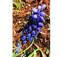 Grape Hyacinth Photographic Print