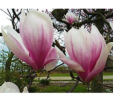 Twin Magnolias Photographic Print