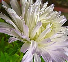 White and Lavender Aster by PineSinger