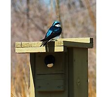 Tree Swallow Photographic Print
