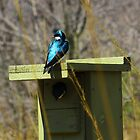 Tree Swallow 2 by MSRowe Art and Design