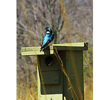 Tree Swallow 2 Photographic Print