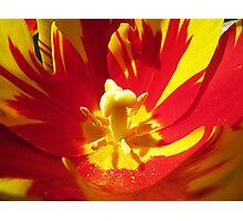 Painted Tulip Photographic Print