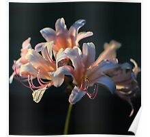 Trumpet Lilies Poster