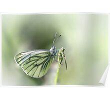 Green-veined White Poster