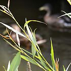 Behind The Reeds by Elisabeth and Barry King™ by BE2gether