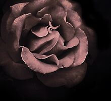 Night Rose by CarolM