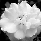 Rose in B&W  - Calendar Image by ctheworld