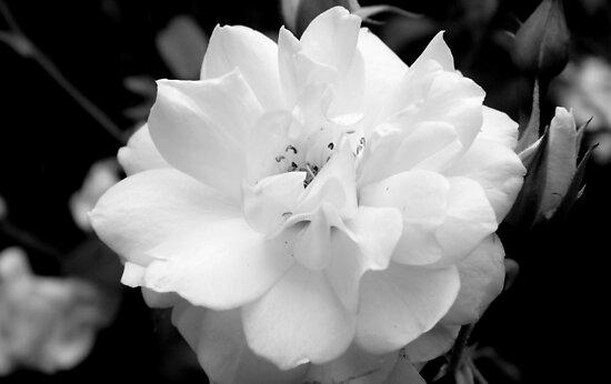 Rose in B&W  - Calendar Image by ctheworld