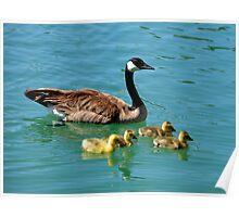 Canada Geese & Goslings Poster