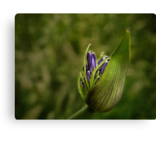 The lily awakes Canvas Print