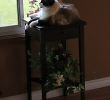 Ragdoll cat relaxing, looking out the window by karencadmanfoto