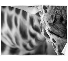 Giraffe from above Poster