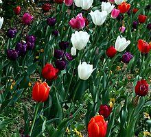 Tulip field by LeJour