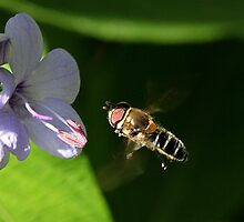 Hoverfly approaching flower by LeJour
