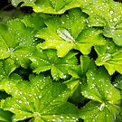 Leaves with morning dew by Sue Fallon Photography