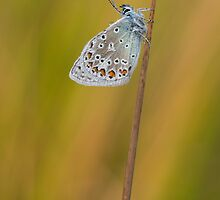 Common Blue Butterfly by Nick Jenkins