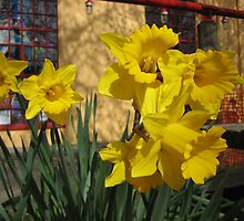 Daffodils All Year Long by Terry Krysak