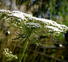 Queen Anne's Lace ~ Daucus carota by Jan  Tribe