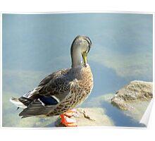 duck 148 Poster