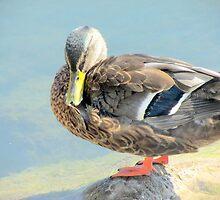 duck 149 by Karen Abraham