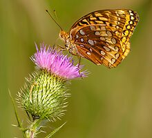 Great Spangled Fritillary On A Thistle Flower by Thomas Young