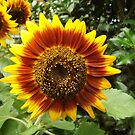 Sunflower Close-Up,  New York Botanical Garden, Bronx, New York by lenspiro