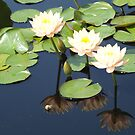 Water Lily and Reflection,  New York Botanical Garden, Bronx, New York by lenspiro