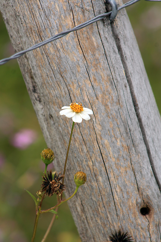 Flower Next to a Fence by rhamm