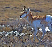 Pronghorn Buck by JamesA1