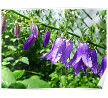 Creeping Purple Bellflower Poster
