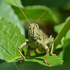 Grasshopper (iPhone Case) by William Brennan