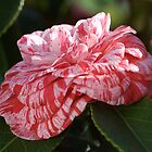Variegated Camellia by Joy Watson