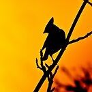 bohemian waxwing silhouette   by Steve Shand