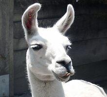 """""""LLama Tell Ya..."""" Funny Llama by MoMoCards"""