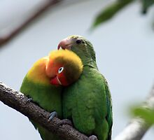 Parrots Being Affectionate by rhamm