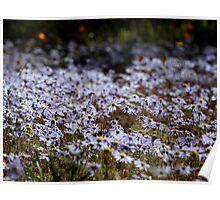 Namaqualand daisies Poster