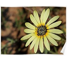 Namaqualand daisy Poster