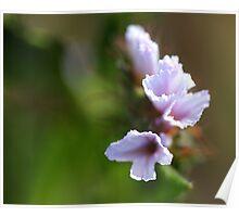 Namaqualand flower Poster