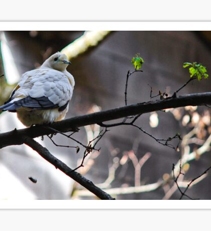 Pied Imperial Pigeon Sticker