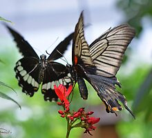 Asian Swallowtails by Harleycowgirl