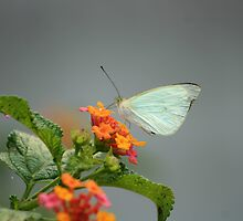 Cabbage Butterfly on a Flower by rhamm