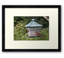 Young female Cardinal  Framed Print