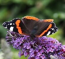 Absorbing sunshine - Red Admiral butterfly by Rivendell7