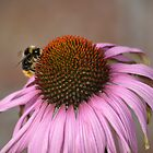 A bee on a pink flower by Elinor Barnes