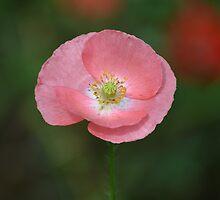 Pink Poppy by Prettyinpinks