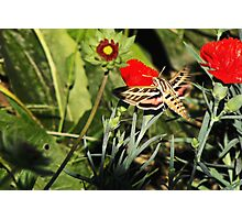 White-lined Sphinx Hummingbird Moth Photographic Print